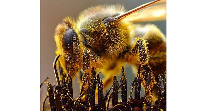Les abeilles seront-elles sauvées ?